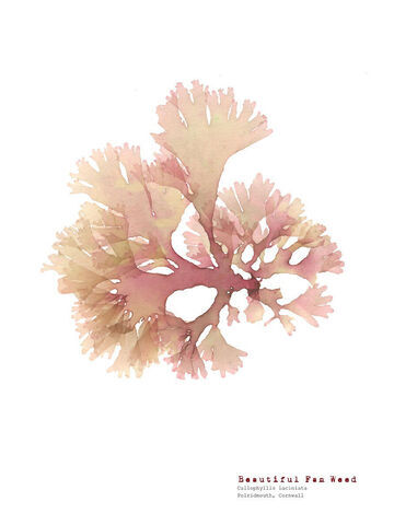 Beautiful Fan Weed - Polridmouth -  Pressed Seaweed Print A4