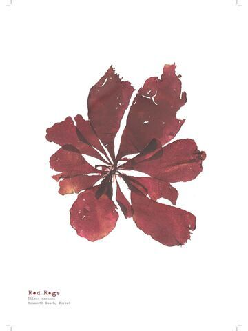 Red Rags - Pressed Seaweed Print A4