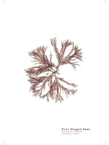 Flat Winged Weed - Pressed Seaweed Print A3  (framed / un-framed)