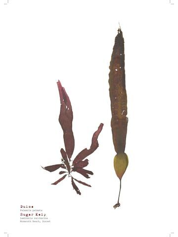 Dulse & Sugar Kelp - Pressed Seaweed Print A3
