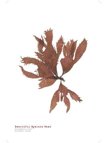 Beautiful Eyelash Weed - Pressed Seaweed Print A3