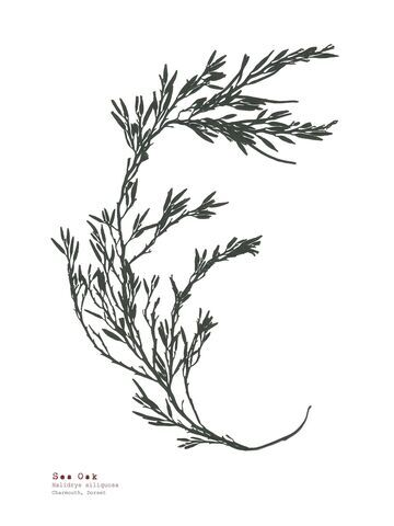Sea Oak (Charmouth) - Pressed Seaweed Print A3  (framed / un-framed)