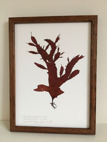 Original Framed Seaweed Pressing - Beautiful Eyelash Weed