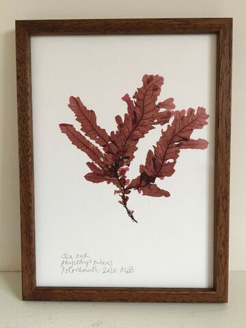 Original Framed Seaweed Pressing - Sea Oak