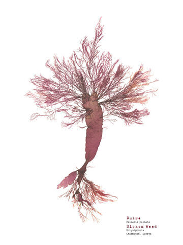 Dulse & Siphon Weed (Charmouth) - Pressed Seaweed Print A3  (framed / un-framed)
