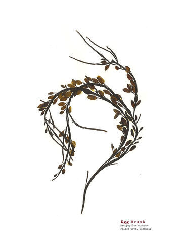 Egg Wrack (Palace Cove) - Pressed Seaweed Print A4 (Framed / un-framed)