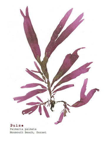 Single Postcard Dulse Pink