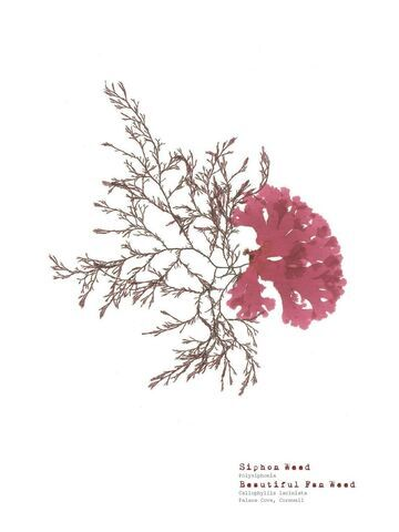 Siphon Weed & Beautiful Fan Weed - Pressed Seaweed Print A4