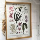 British Seaweeds Poster additional 3