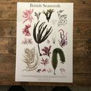 British Seaweeds Poster additional 1