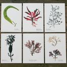 12 British Seaweeds Postcards SET ONE additional 3