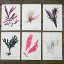 12 British Seaweeds Postcards SET ONE additional 2