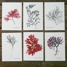 12 British Seaweeds Postcards SET TWO additional 5