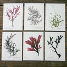 12 British Seaweeds Postcards SET TWO additional 4