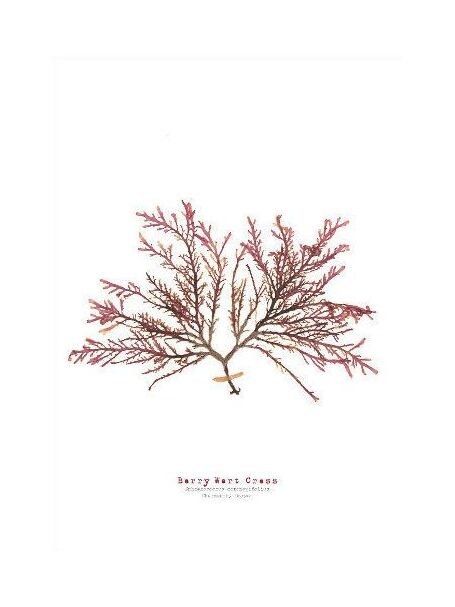 Berry Wart Cress - Pressed Seaweed Print A3