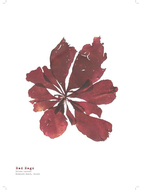 Red Rags - Pressed Seaweed Print A4  (framed / un-framed)