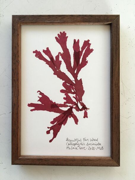 Original Framed Seaweed Pressing - Beautiful Fan Weed