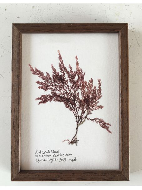 Original Framed Seaweed Pressing - Red Comb Weed