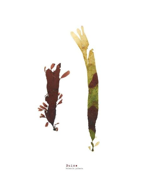Dulse (Pair) - Pressed Seaweed Print A3  (framed / un-framed)